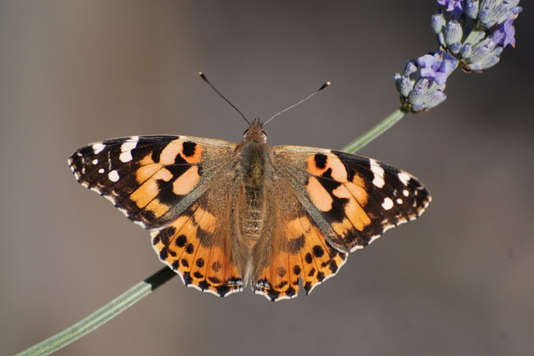 PAINTED LADY - Today by Steve_T