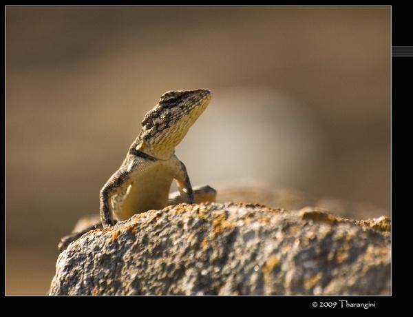 Rock Agama by tharang_b9
