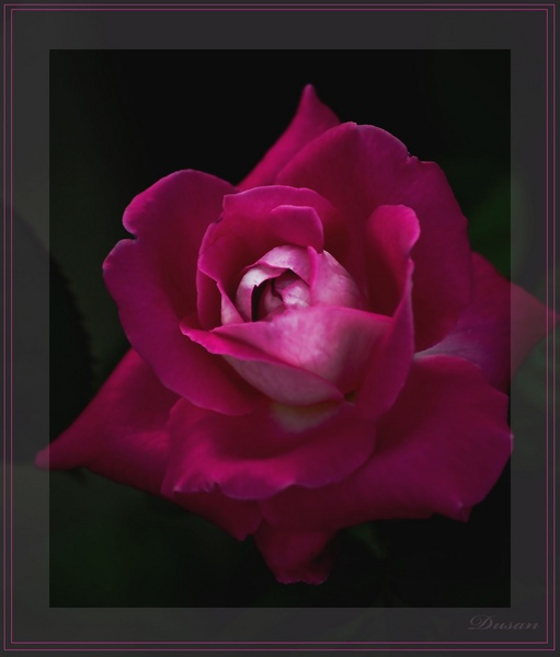 ROSE by Dusan