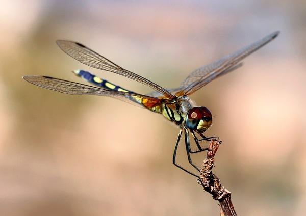 Thai Dragonfly by cdavis
