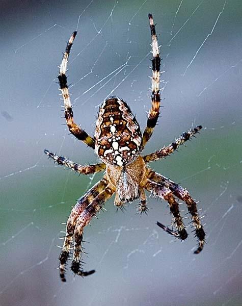 Spider by BobbyK