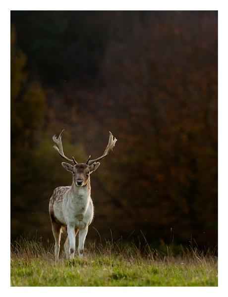 Fallow Deer by ian.daisley