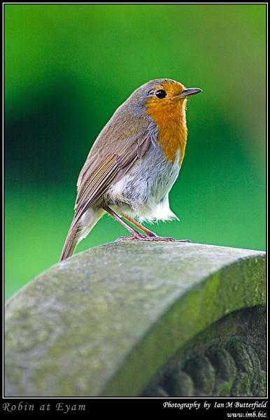 Robin at Eyam by ianbutty