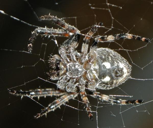 Garden Spider by ijaceone