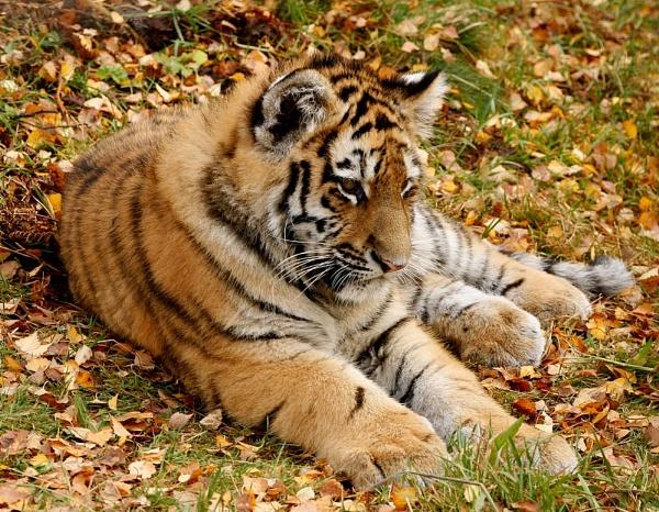 Amur cub by Snapper