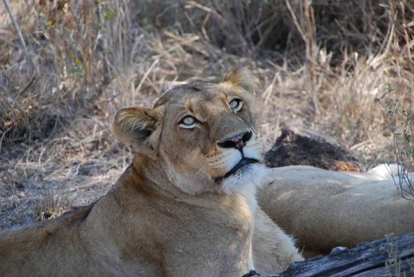 Lioness by avon