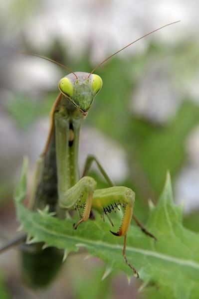Praying Mantis by acbeat