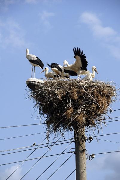 White Stork Chicks by acbeat