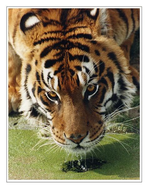 Bengal Tiger by tywanda46