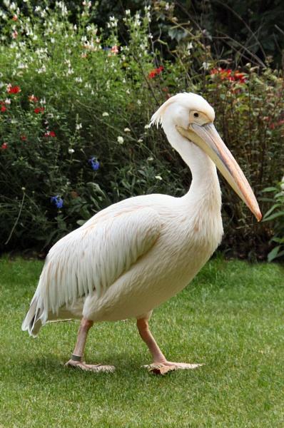 pelican by kencbr