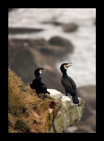 Cormorant by kencbr