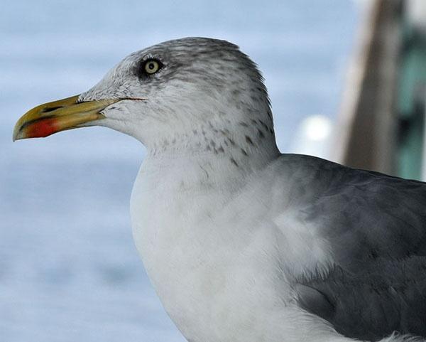 Seagull by alfieB