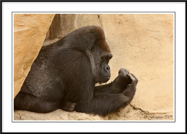 Gorilla by franfoto