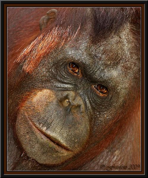 Female Orangutan by franfoto