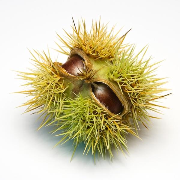 Sweet Chestnut by sdb