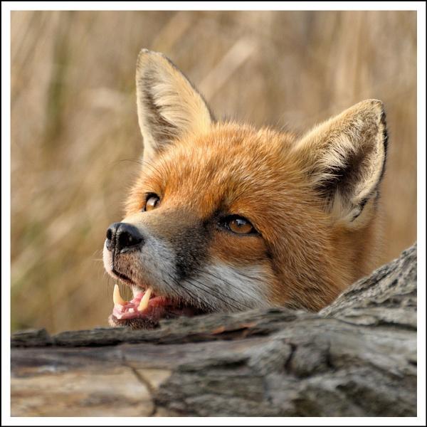 Fox#1 by AlanTW