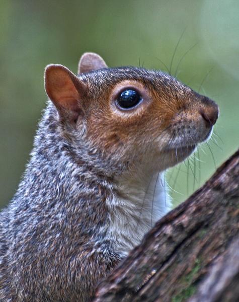 Squirrel Posed by chensuriashi