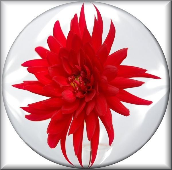 red dalhia by CherryMartin