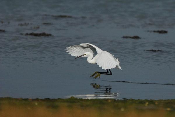 Little Egret. by fishing