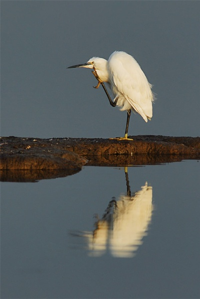 Little Egret no 2 by fishing