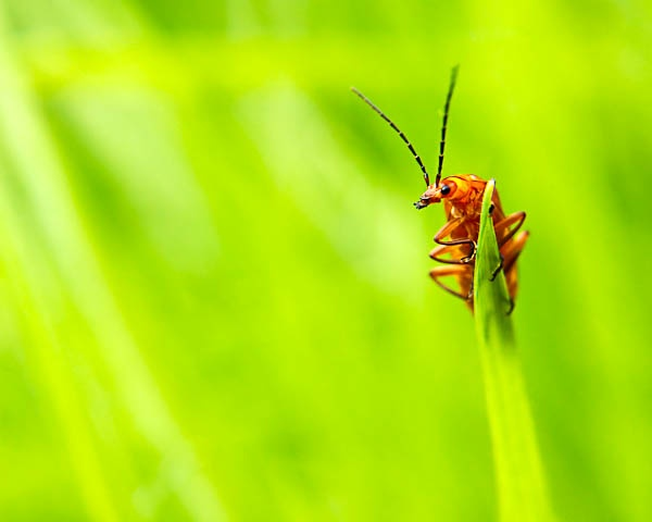 Red Soldier Beetle by jeni