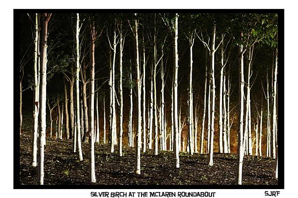 Silver Birch trees in surrey.