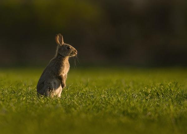 Evening kitten Rabbit by Enmark