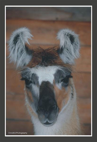 Portrait of a Llama by ChrisB53