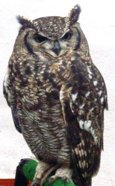owl by Tash_hares