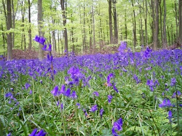 Bluebells by mrpjspencer