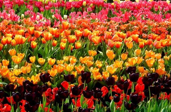 Eden Tulips by Paul_H