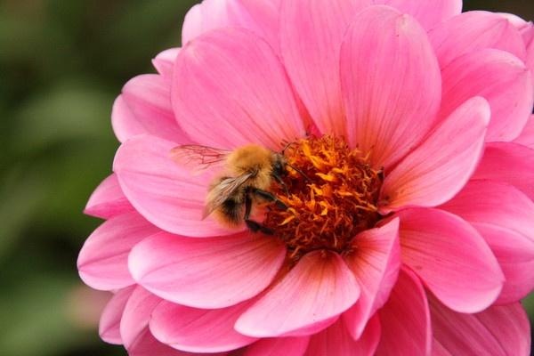 Bee Shot by David4583