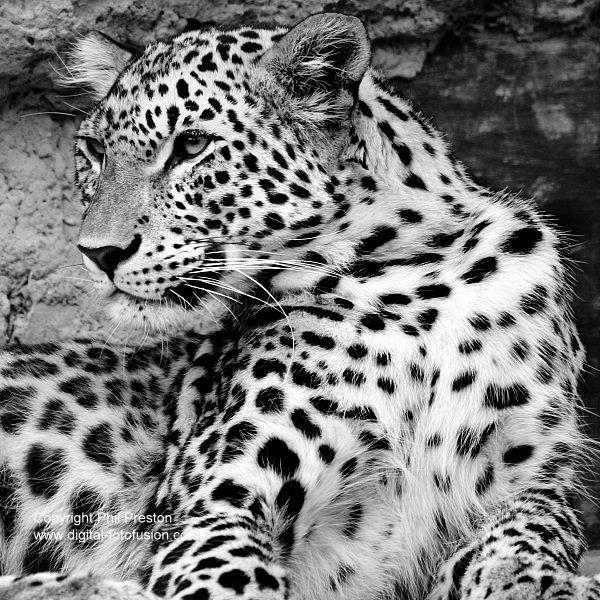 Santago Leopard by PP