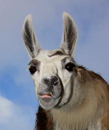 Tandy the Llama