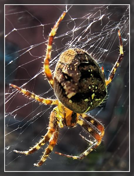 Garden Spider by Sylviwhalley