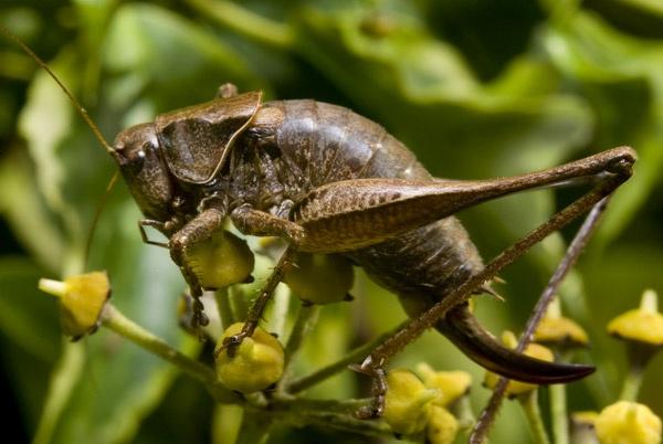Bush Cricket by Phatboy
