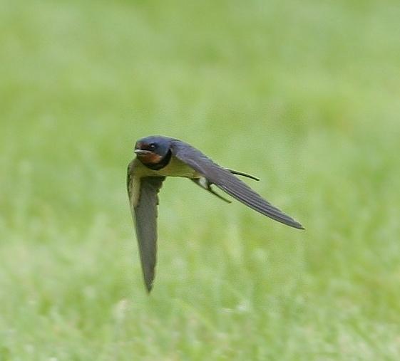 Swallow in flight by mark_delta