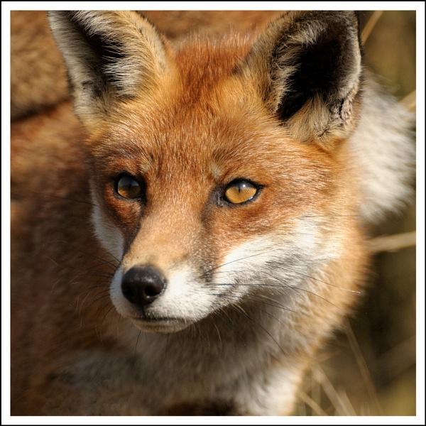 Fox #2 by AlanTW