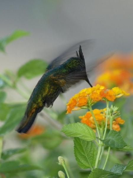 Antillean Humming Bird (male) by welshjohn