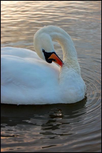 Swan Lake by sharlotte51