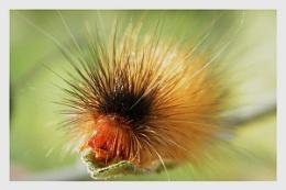 Caterpillar 37