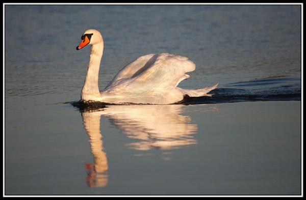 Swan in the Autumn Sun by marathonman