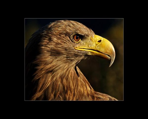 Golden Eagle by JdeNLucas