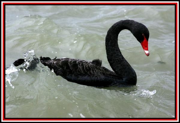 Swan by x_posure
