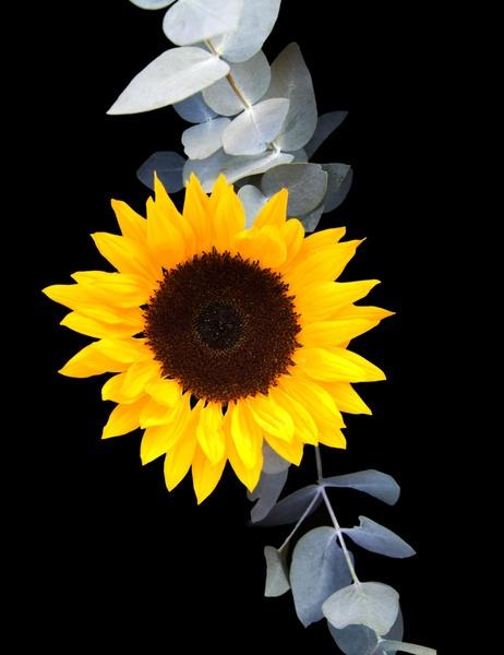 Sunflower by zimac