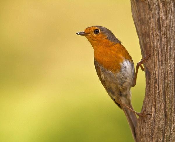 Upright Robin by paulrosser