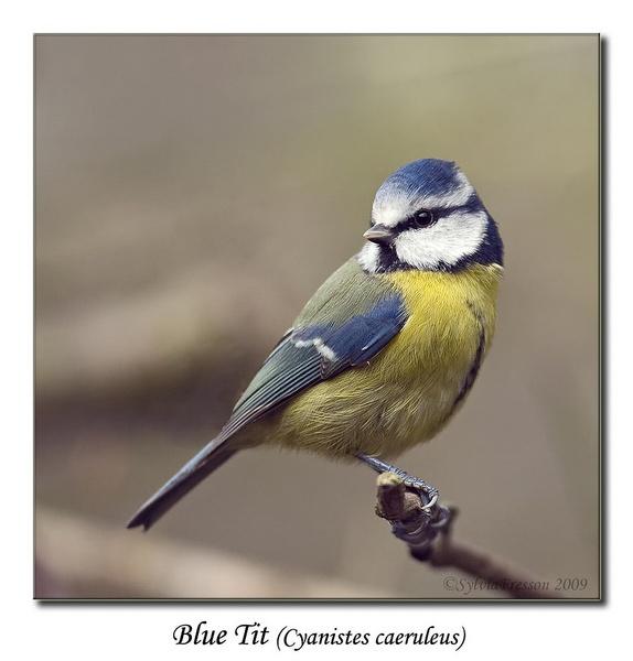 Blue Tit (Cyanistes caeruleus) by teocali