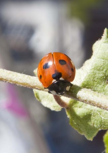 Ladybird by BobbyK
