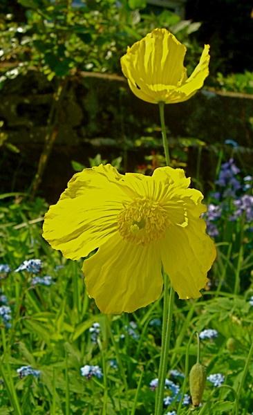Welsh Poppy by Paul_H