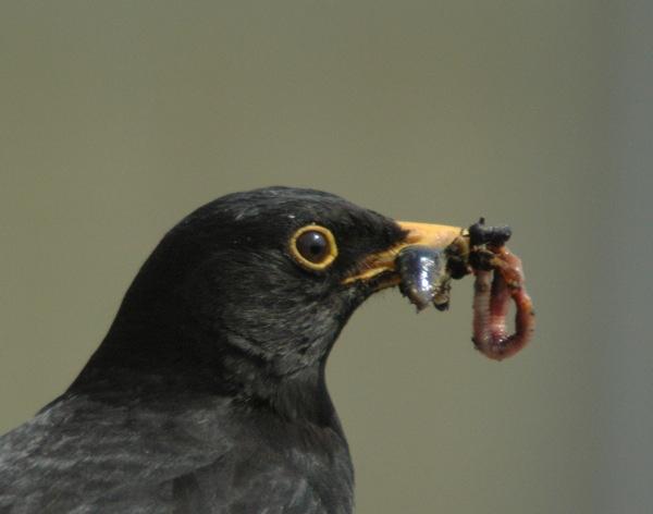 Mr Black Bird by ijaceone